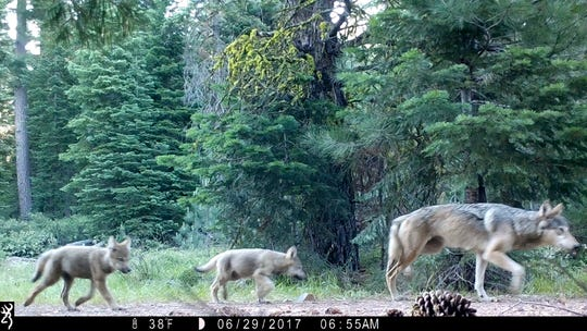 FILE - This June 29, 2017, file remote camera image released by the U.S. Forest Service shows a female gray wolf and two of the three pups born this year in the wilds of Lassen National Forest in Northern California. Republicans in the U.S. House are pushing legislation that would strip wolves of their federal protections across the contiguous U.S. A House committee on Wednesday, Sept. 26, 2018, is scheduled to consider a slate of changes to the Endangered Species Act, a 1973 law meant to shields plants and animals from possible extinction. (U.S. Forest Service via AP, File)