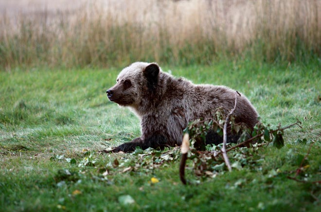 In this Sept. 25, 2013 photo, a grizzly bear cub rests near a cabin a few miles from the north entrance to Yellowstone National Park in Gardiner, Mont.