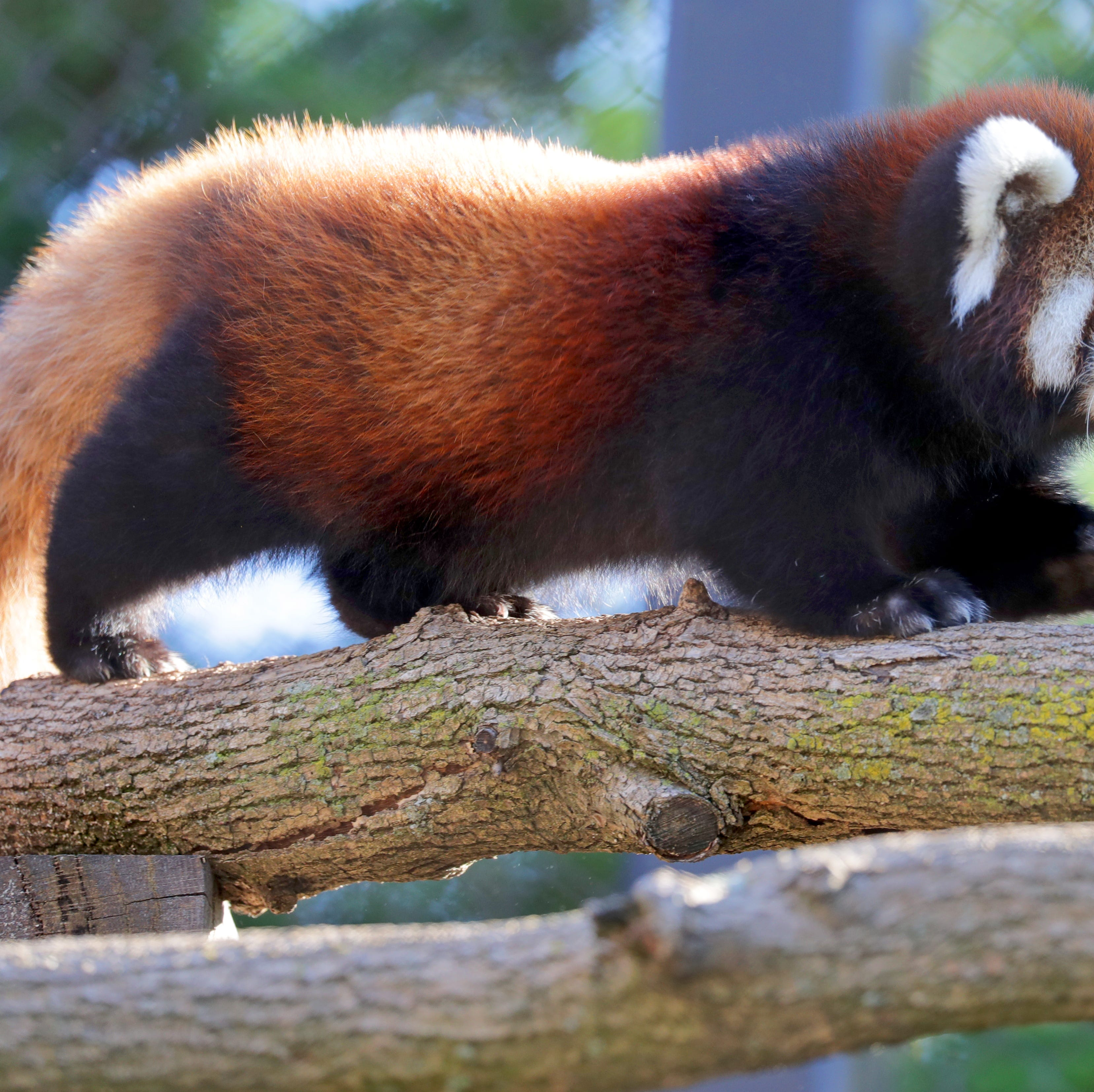 Milwaukee County Zoo said goodbye to a baby red panda and an orangutan as a part of species survival program