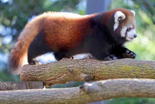 Milwaukee County Zoo's female red panda cub, Dr. Lily Parkinson carefully walks across limbs in the red panda exhibit. The cub was named after the Zoo's recent veterinarian resident, Dr. Lily Parkinson, who was the first to discover the cub through an ultrasound on mother, Dr. Erin Curry.