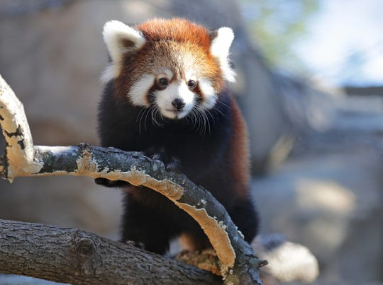 The Milwaukee County Zoo's female red panda cub - full name, Dr. Lily Parkinson - was born on June 6.