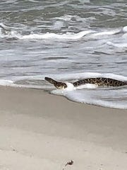A large snake was rescued Sept. 25 from Pensacola Beach near the Fort Pickens area.