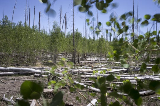 Aspens trees are replacing the ponderosa pines that burned during the 2006 Warm Fire on the Kaibab National Forest, north of the Grand Canyon. The photo was taken in July of 2018.
