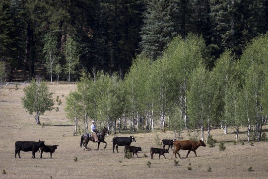 Justun Jones moves cattle in the south summer pasture on North Rim Ranches on the Kaibab National Forest. Jones grazes cattle in the area, north of the Grand Canyon, for part of the year.