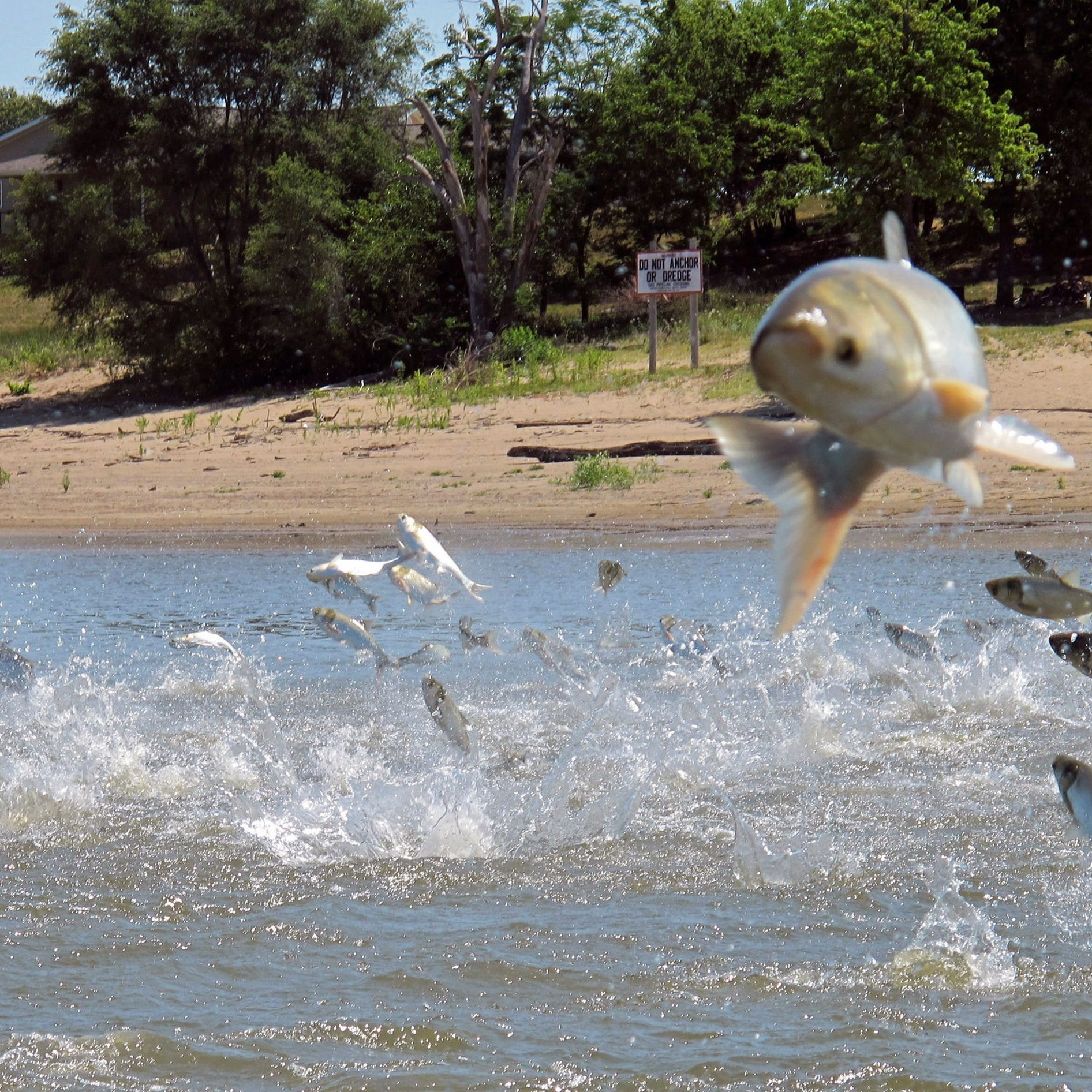 Opinion | Blackburn hasn't taken action to save lakes from Asian carp
