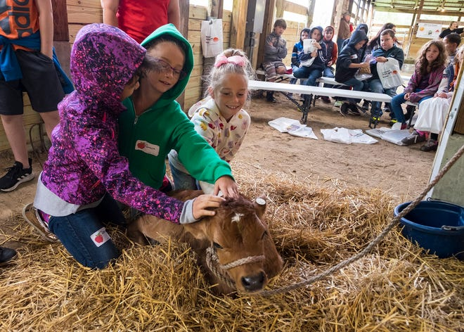 Kimball Elementary fourth-graders Desiree Aldrich, left, Grace Green, center and Leah Green pet a one-week-old dairy calf during a presentation on Rural Education Day  Wednesday, Sept. 26, 2018 at Goodells County Park.