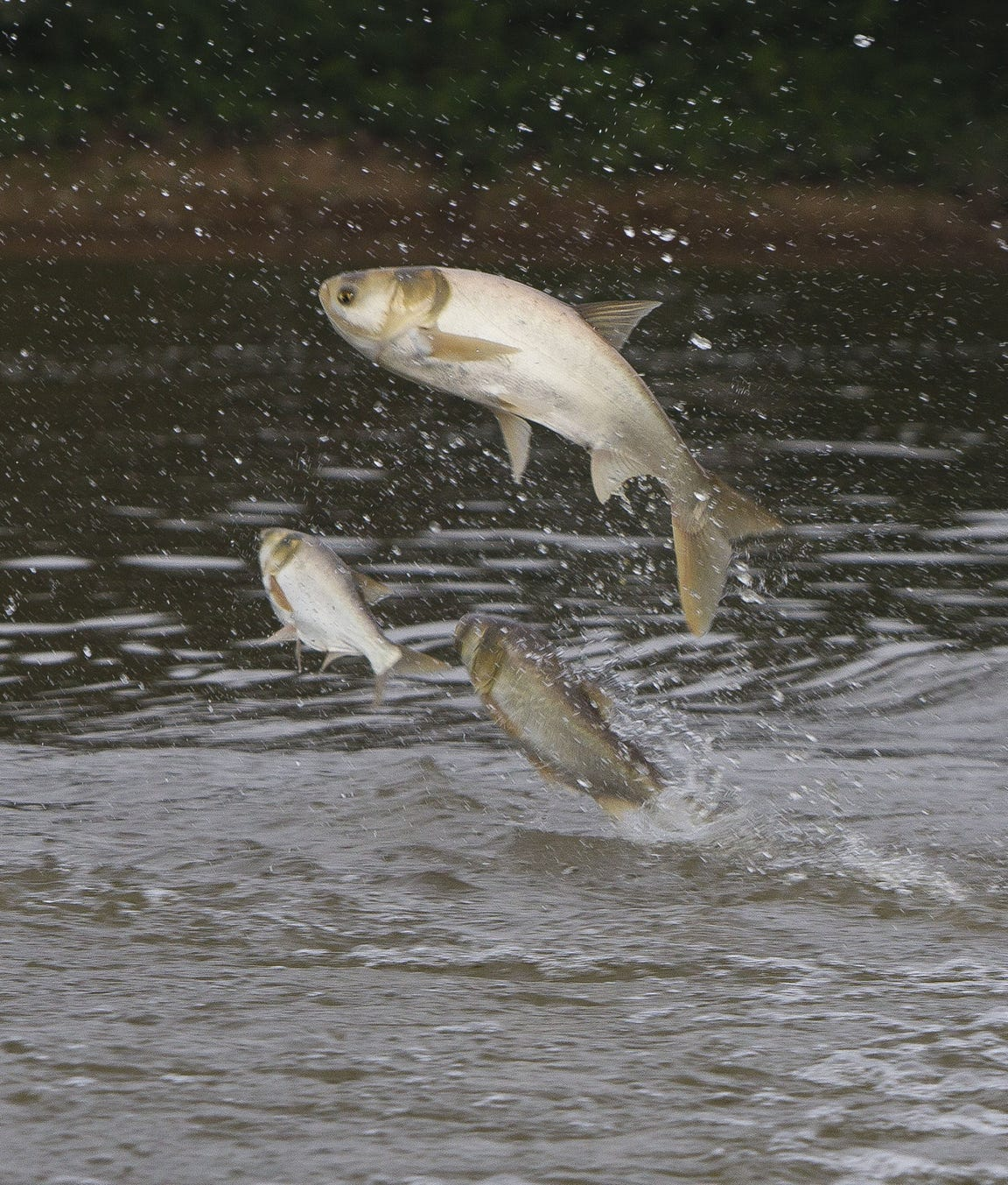 Silver carp jump out of the water near the retention area off of the Wabash River in West Lafayette, Indiana