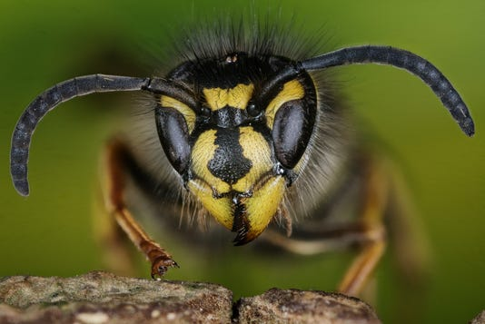 Common Wasp Wasp Vespula Vulgaris