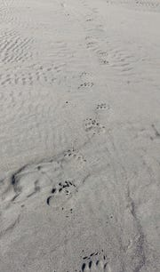Bears at the beach. These tracks were about 15 feet from our fishing hole near the mouth of the Italio River.