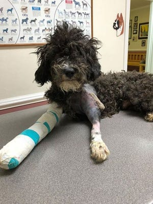 Eve is expected to make a full recovery after her surgery Tuesday, Sept. 25, 2018, at Knickerbocker Road Animal Hospital.