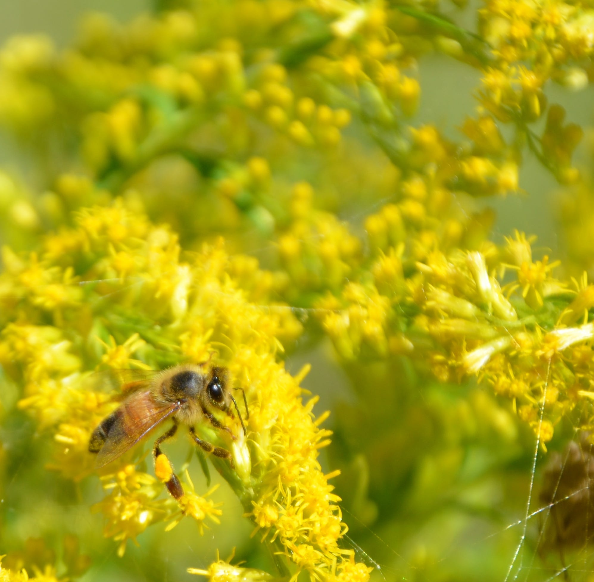 Outdoors: Goldenrod is blooming in all its glory