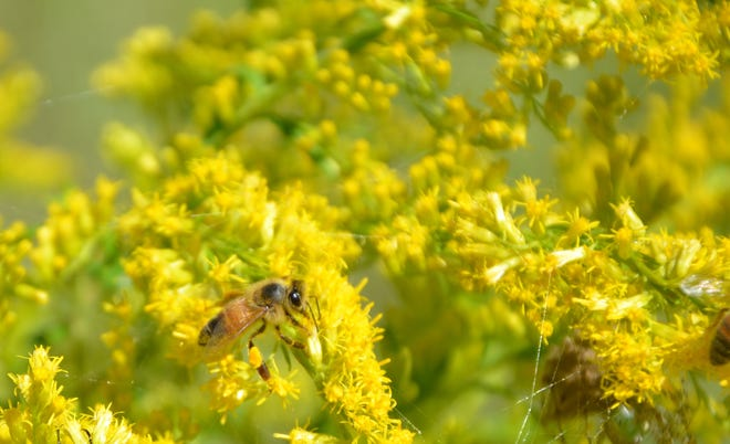 European honeybees and many other pollinators are frequent visitors to local goldenrods. The light colored spot on the bee's hind leg is the pollen she has collected.