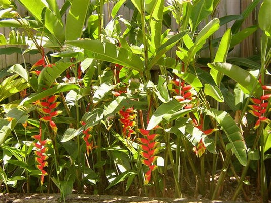 Heliconia Lobsterclaw Sept 30