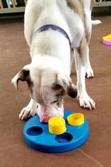 Sterling, a sweet hearing impaired hound, was adopted after being featured practicing his nose works skills.