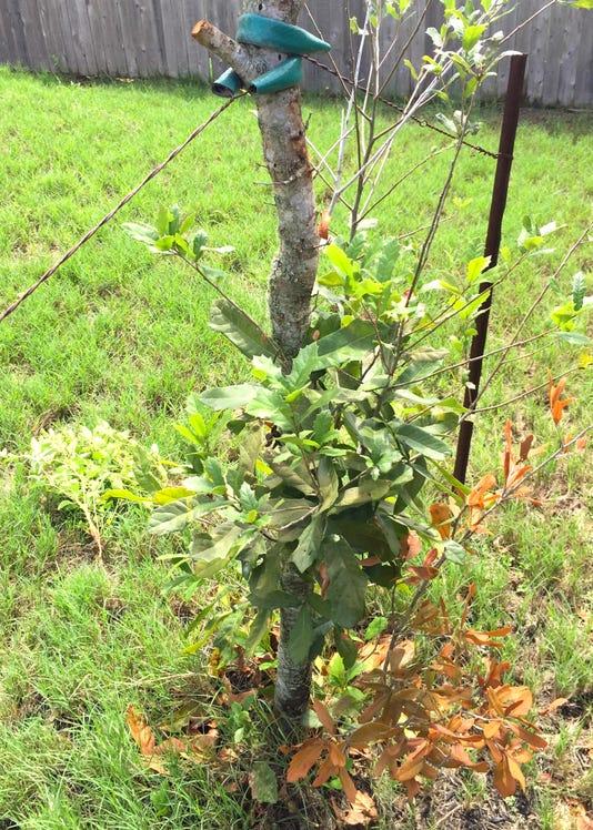 9 24 18 Oak Dieback