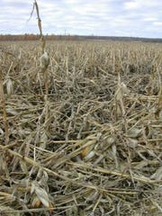 An entire field lodged due to significant stalk rot.