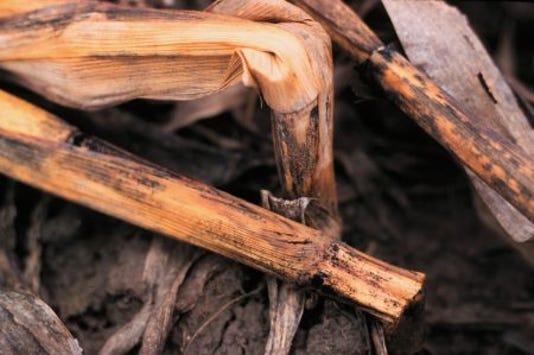 Corn Stalk Rot 1 450x299