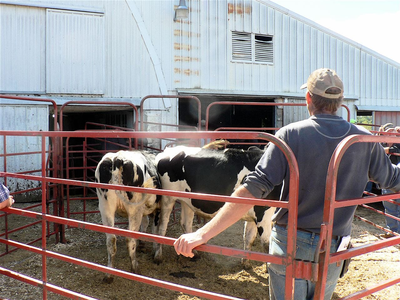 Cory Biddlingmeier keeps the cattle flowing into and out of the sale ring.