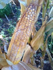 Diplodia ear rot on an ear of corn.