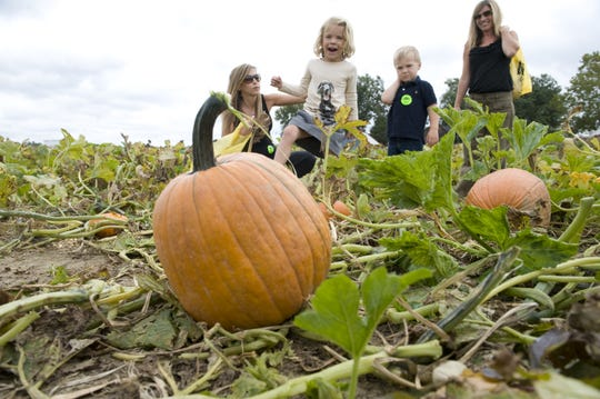 A family chooses a pumpkin at Johnson's Corner Farm in Medford. Johnson's is just one of a number of South Jersey farms offering pick-your-own pumpkins.
