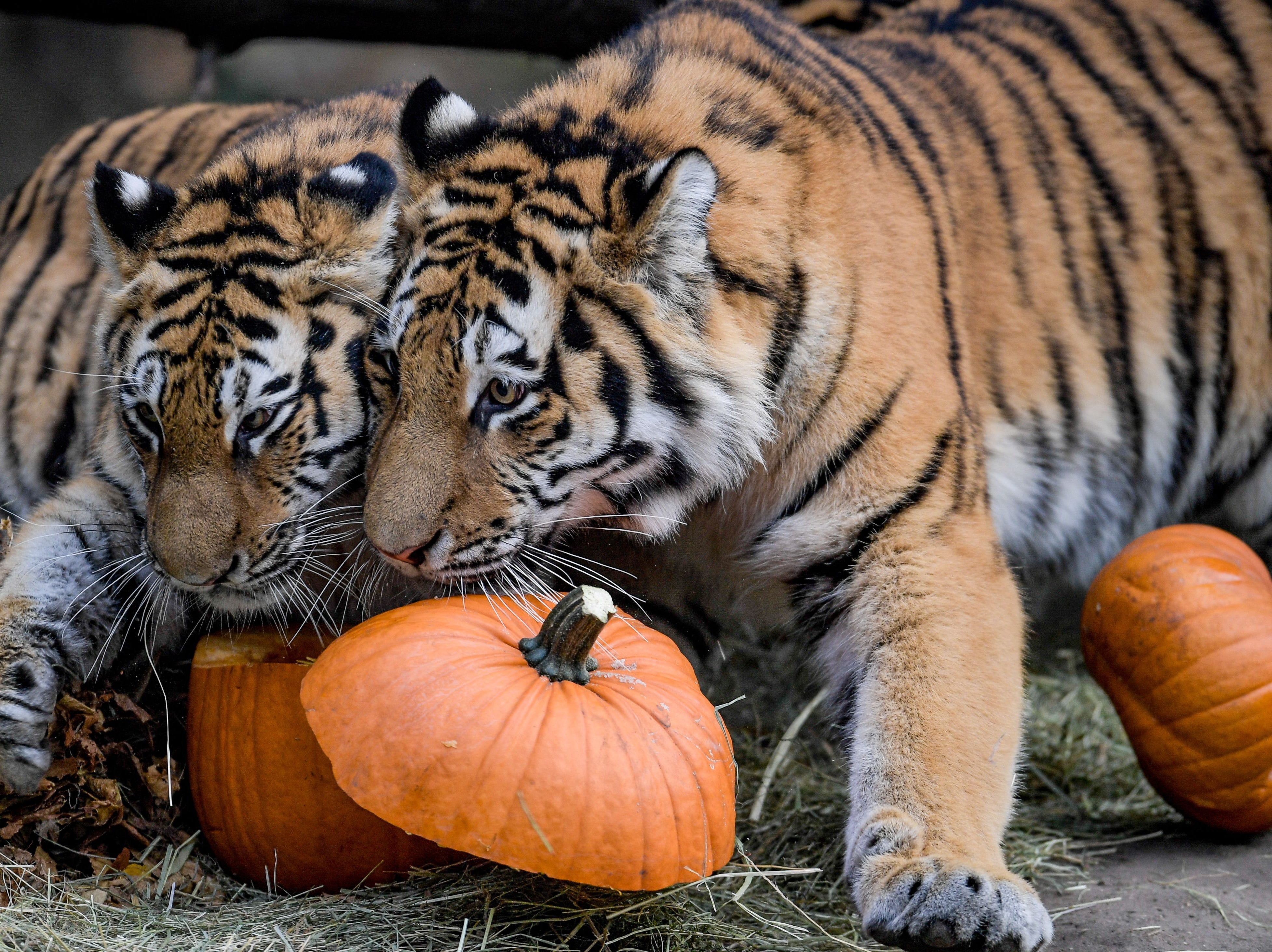Two Siberian tigers inspect pumpkins filled with meat on September 27, 2018, at the Tierpark Hagenbeck zoo in Hamburg, northern Germany.