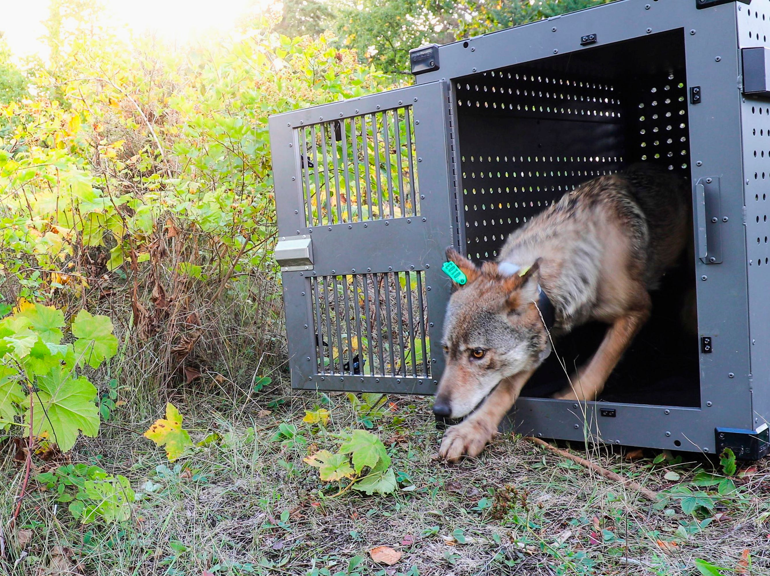 This Wednesday, Sept. 26, 2018, photo provided by the National Park Service shows a 4-year-old female gray wolf emerging from her cage at Isle Royale National Park in Michigan. The wolf along with a a 5-year-old male were flown to the park Wednesday from the Grand Portage Indian Reservation in Minnesota to kick off a multi-year effort to restore the predator species on the Lake Superior island chain.