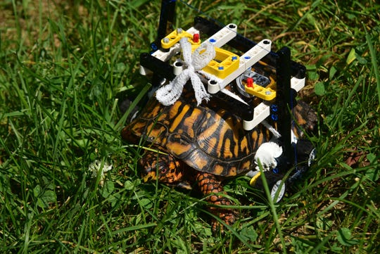 A wild Eastern box turtle at the Maryland Zoo in Baltimore is on the mend and on the move thanks to some clever engineering using Lego bricks.