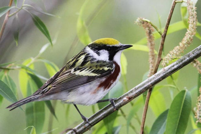 Sometimes birds look quite different in spring and fall, like this chestnut-sided warbler, brightly colored in spring and more drab in fall. Yes, these two photos both show chestnut-sided warblers!