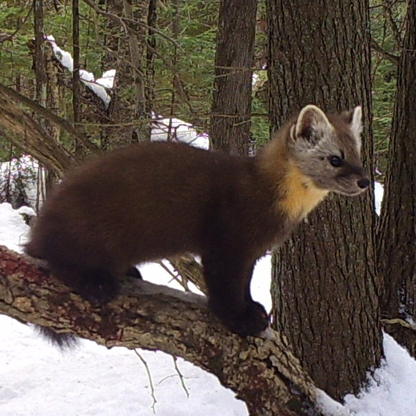 Deep snow and new trail cameras are good news for martens, Wisconsin's only state-endangered mammal