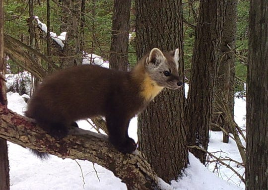 An American marten pauses atop a log while hunting in northern Wisconsin.