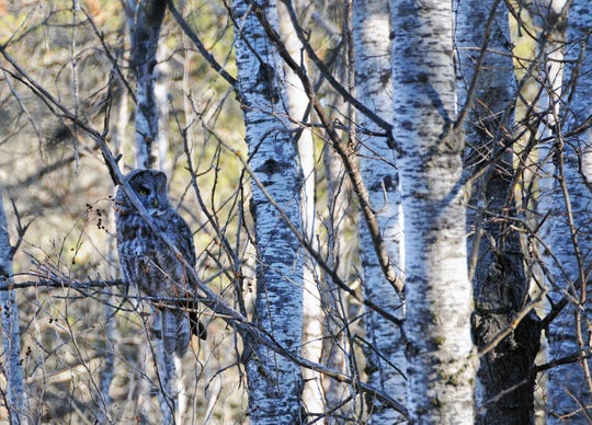 A great gray owl watches and listens for voles and mice in an aspen stand in northeastern Minnesota.