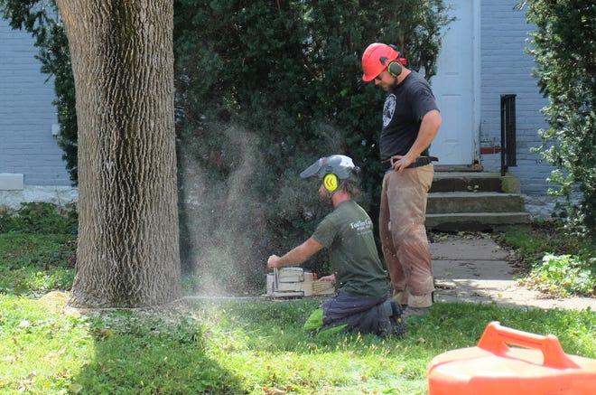 Seth Bihun cuts the base of an ash tree trunk on Thursday, Sept 27, 2018 on Market Street.