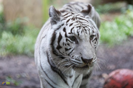 White tiger Kali is pictured in her habitat off view at Zoo Knoxville Tuesday, September 25, 2018.