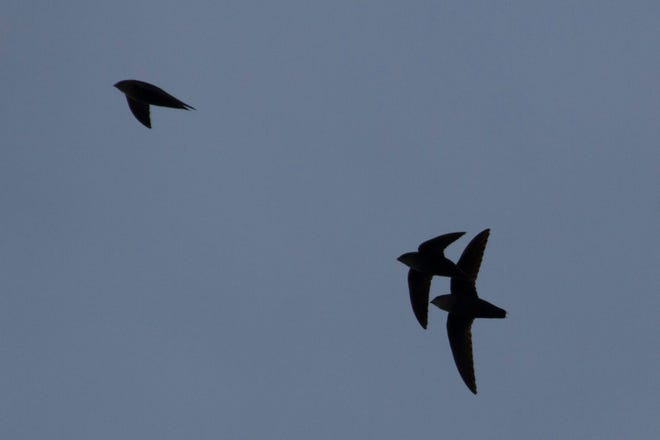Chimney swifts in chase.