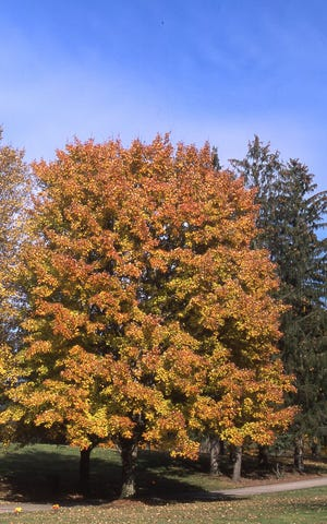 This nature maple tree was in full fall color during mid-October. Maple trees are among the most common trees for rich fall leaf color.