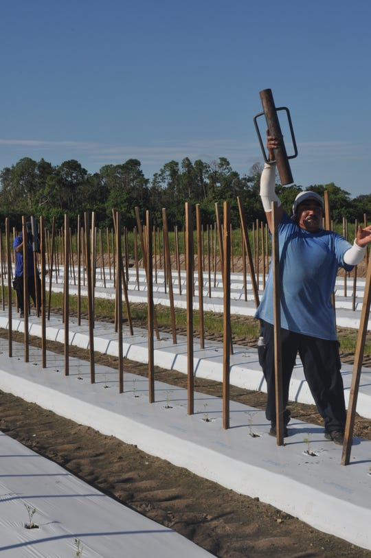 Farmer Mike's in Bonita Springs is growing pumpkins for the first time. They will be available for purchase, the farm said.