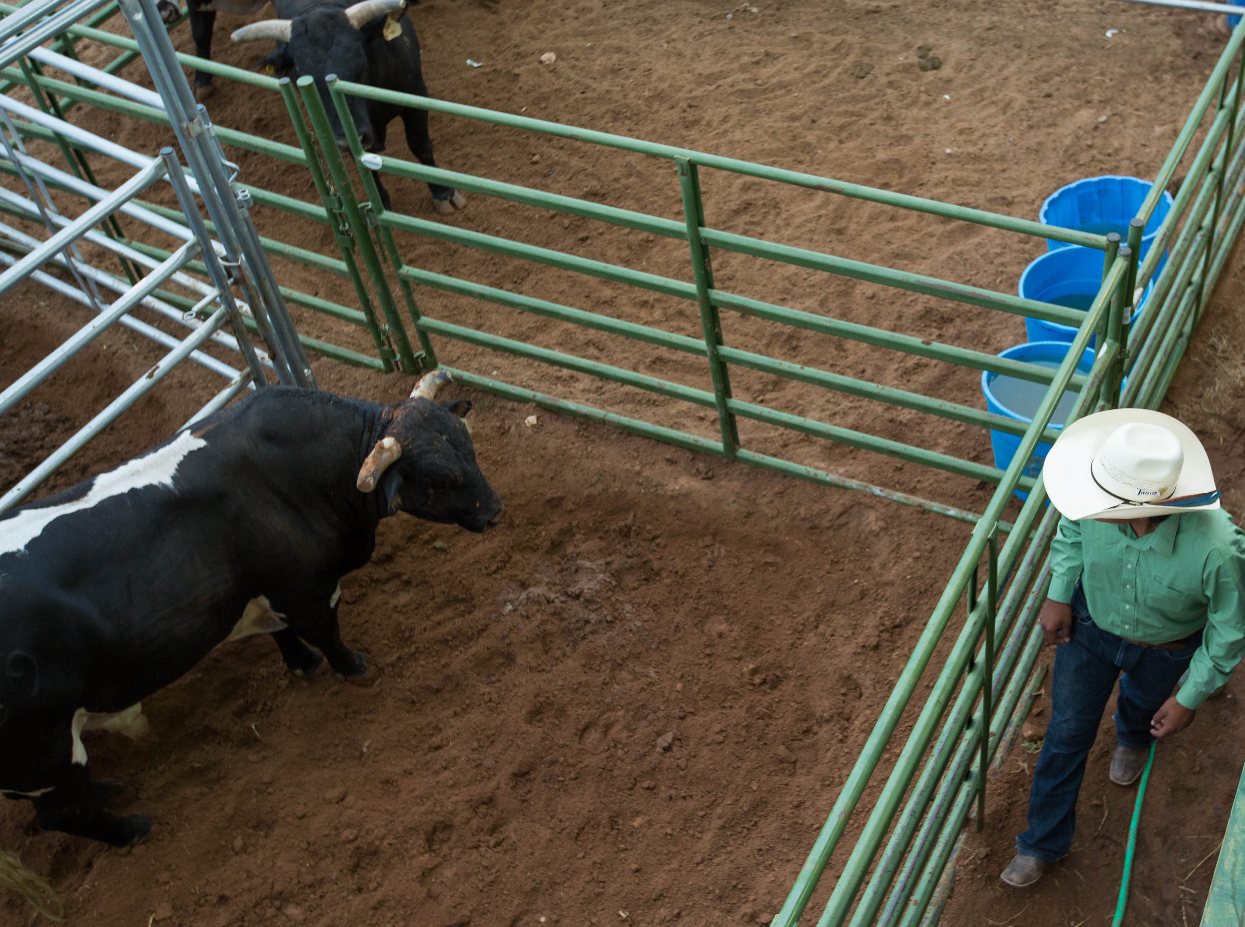 Kobe Neal, a Navajo bull rider from Wheatfields Arizona looks over bulls in the pens at the Southern New Mexico Fair Grounds. Wednesday September 26, 2018.