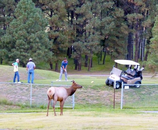 Golfers in Ruidoso putt undisturbed by several visiting elk.
