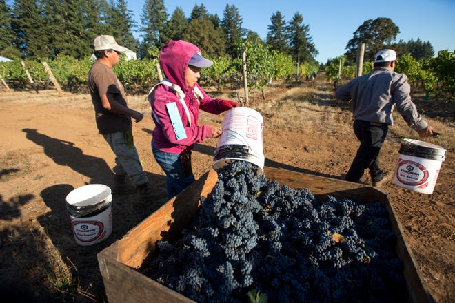 A Redhawk Winery worker pours her bucket of grapes into a larger bin on Thursday, Sept. 27, 2018. The field workers are paid per bucket.