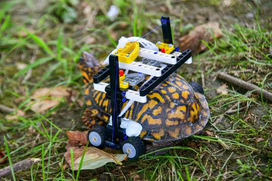 In this Sept. 6, 2018, photo provided by the Maryland Zoo, a wild turtle with a broken shell gets around on a wheelchair made of Legos while on the mend at the zoo in Baltimore. News outlets reported that veterinarians had performed surgery on the grapefruit-sized eastern box turtle found in July with fractures to the underside of his shell. (Sinclair Miller/The Maryland Zoo via AP)
