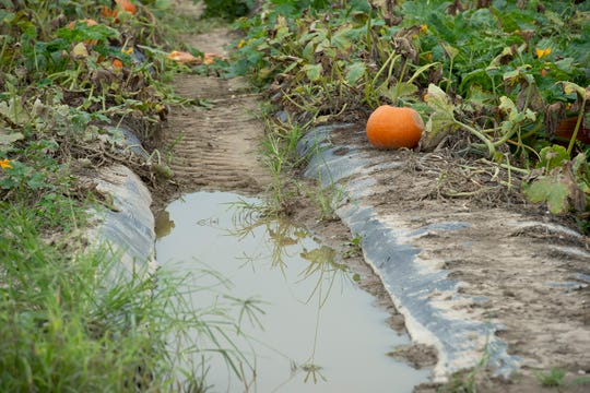 View of area of standing water in the pumpkin patch at Fifer Orchards in Camden.