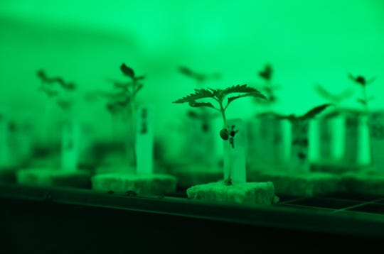 Baby marijuana plants at Grow Ohio's facility in Newton Township. The company expects to begin producing medical marijuana products early next year. The plants are lit by a green light to allow humans to examine them during a period of time they would otherwise be in the dark. The green light does not effect the plants growth cycle, which is strictly regulated.