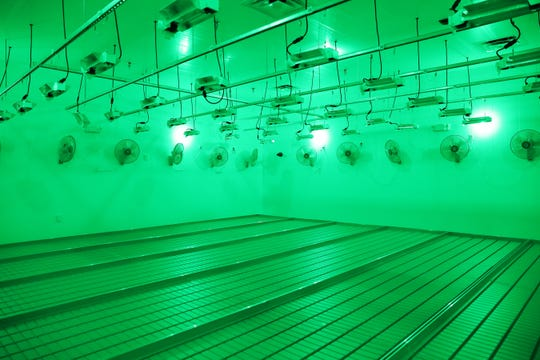 One of Grow Ohio's vegitation rooms, where plants are grown from seedlings. The room is lit by green lights, which do not affect a plant's growth cycle, during times the plants would otherwise be in the dark. The plants exposure to light and nutrients is strictly regulated to produce plants to the exact specifications Grow Ohio desires.