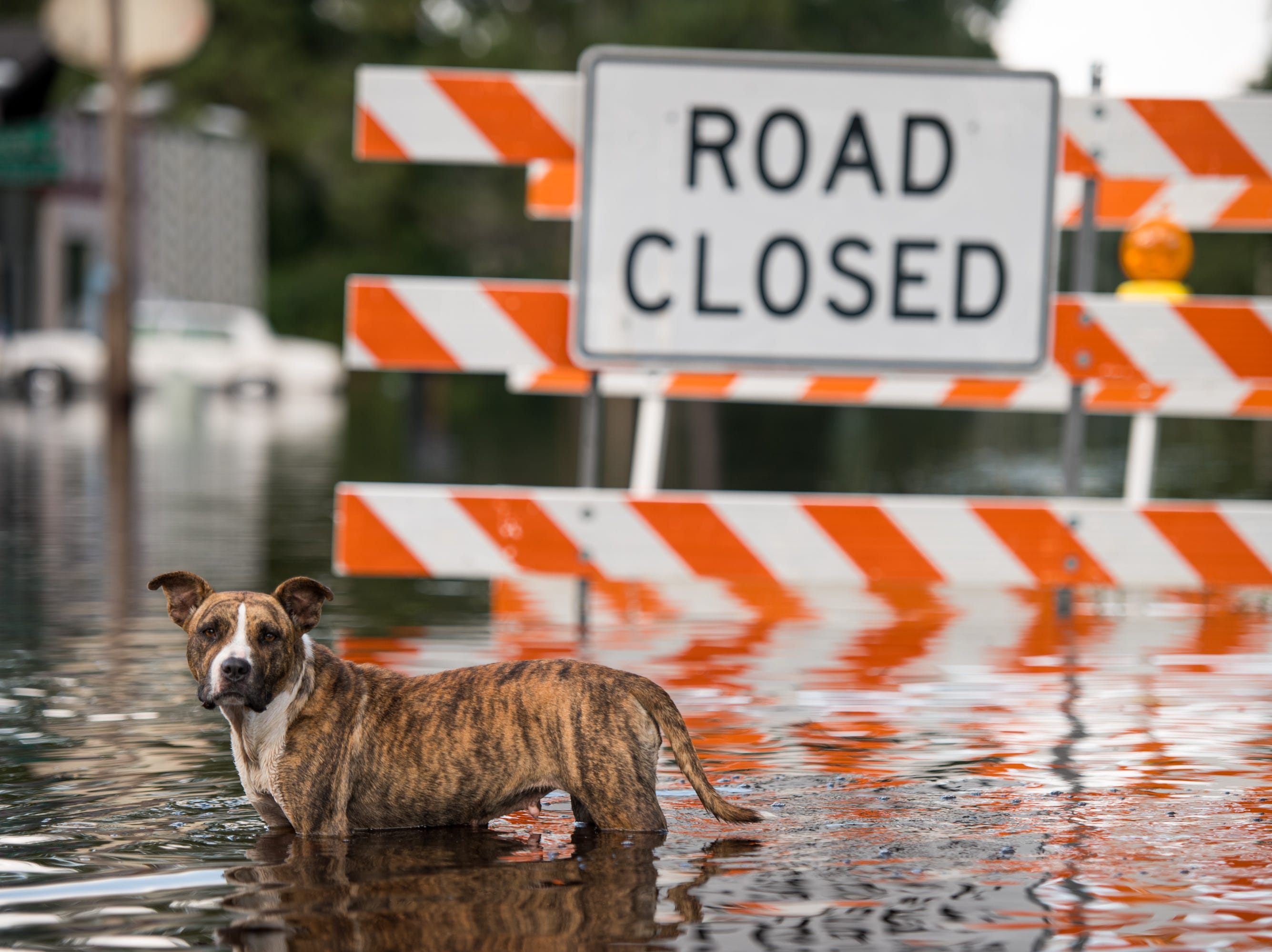 A dog stands in floodwaters from the Waccamaw River caused by Hurricane Florence on Sept. 26, 2018 in Bucksport, S.C.