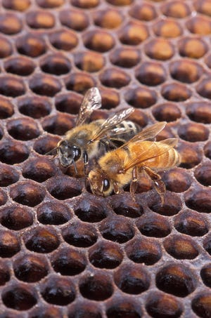 An Africanized honeybee (left) and a European honeybee on a honeycomb. Despite color differences between these two bees, it's difficult to identify them by eye. Experts say the Africanized bees are not in Western North Carolina at this time.