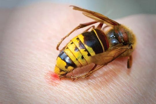 Yellow jackets are prevalent in the mountains, nest in the ground and carry a painful sting.