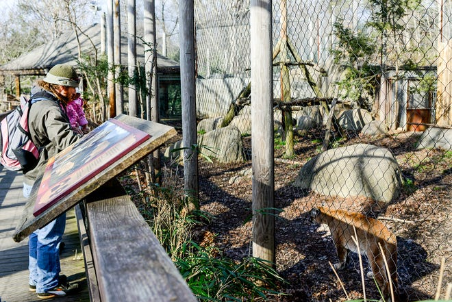 Nathan Crumb holds his daughter Aubrey, 1, up to see Pisgah the cougar at the Western North Carolina Nature Center, Wednesday, Dec. 31, 2014. The 8-year-old cougar died Thursday, Sept. 27, 2018, after being diagnosed with kidney failure several years ago.
