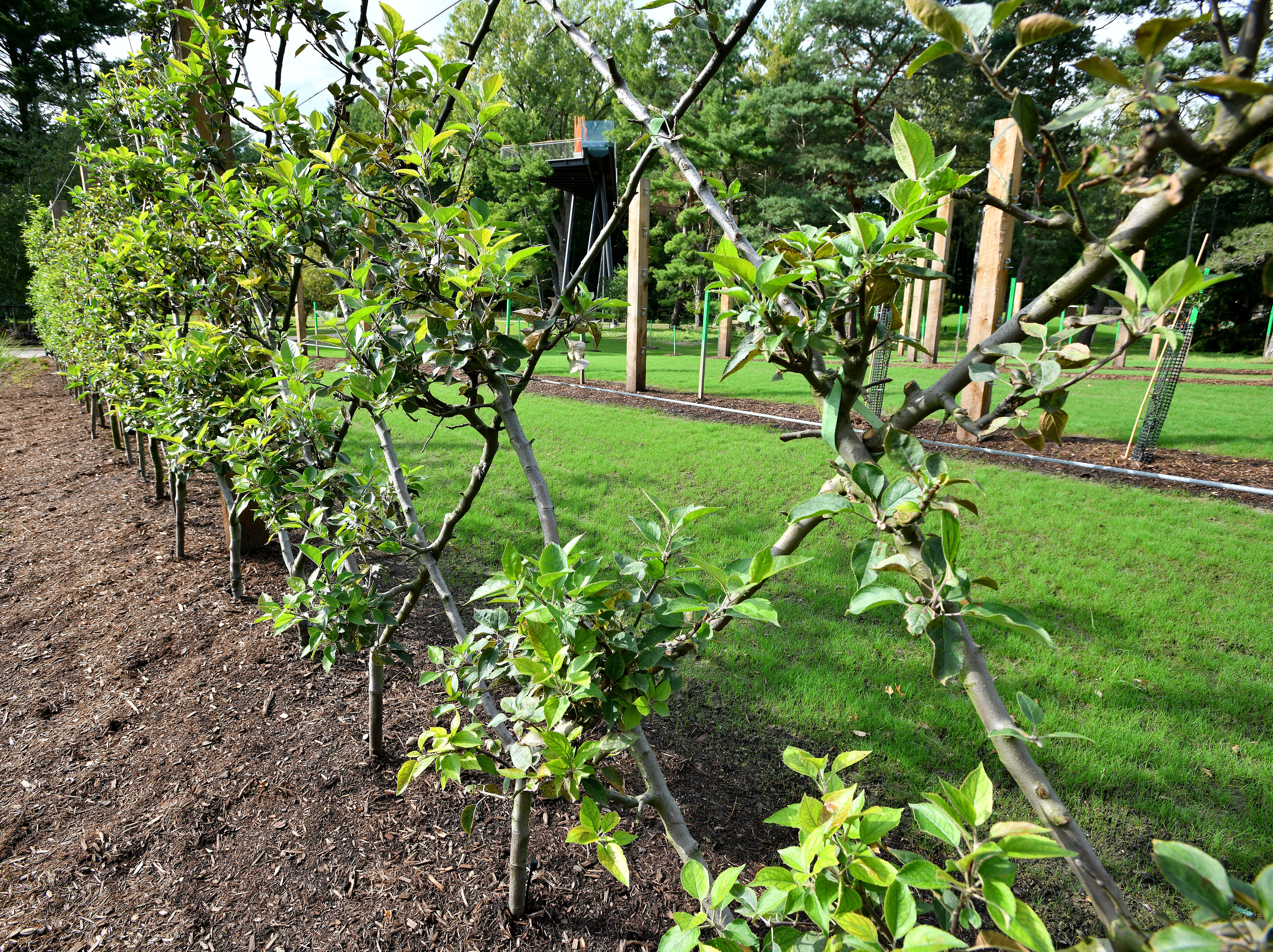 """Apple trees woven into an """"espalier"""" form a fence along the drive at the entrance to Whiting Forest. Espalier is the horticultural art of weaving woody plants like apple trees into shapes, usually attached to a frame for support."""