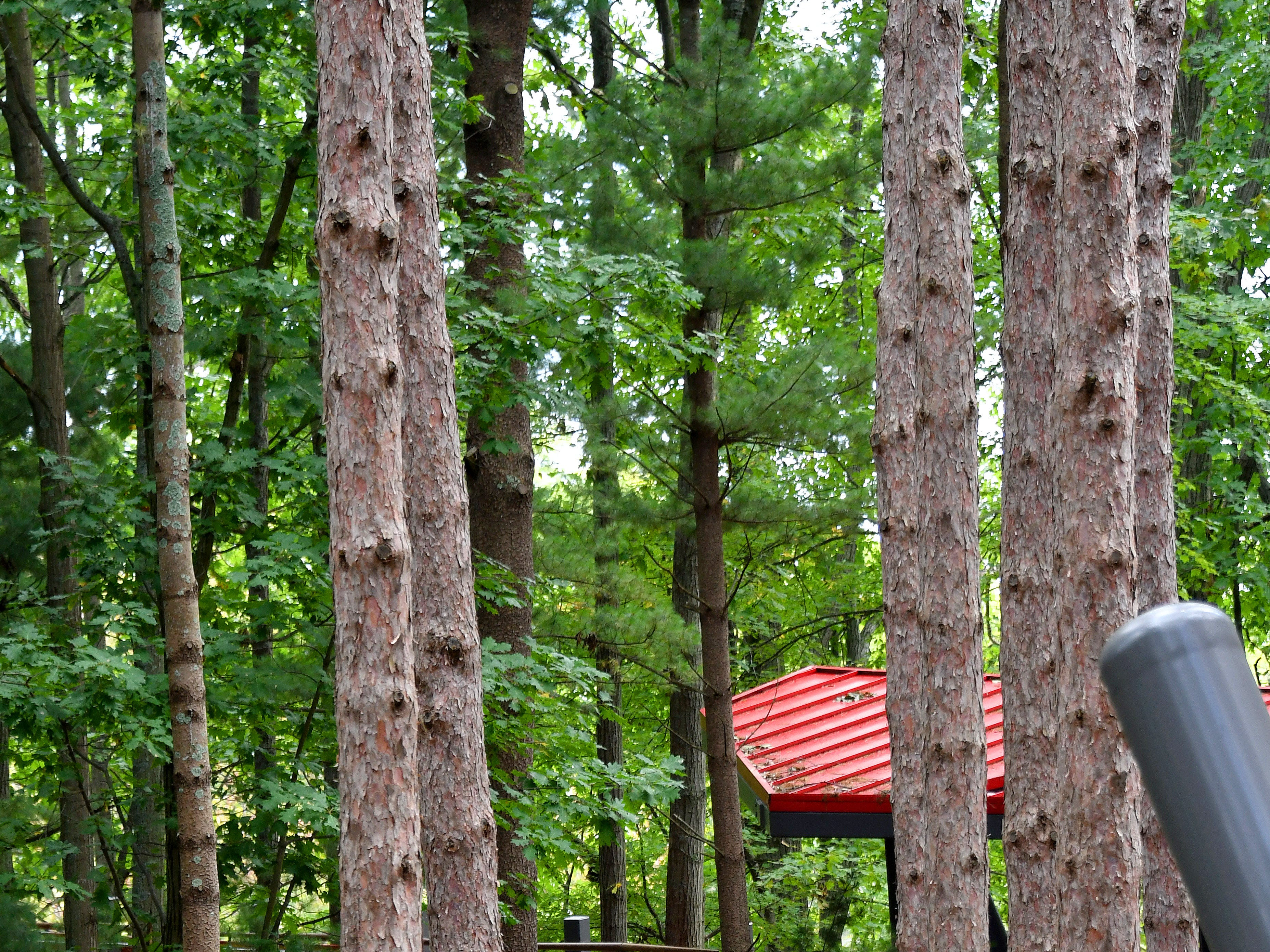 The Canopy Walk winds between the red pines.