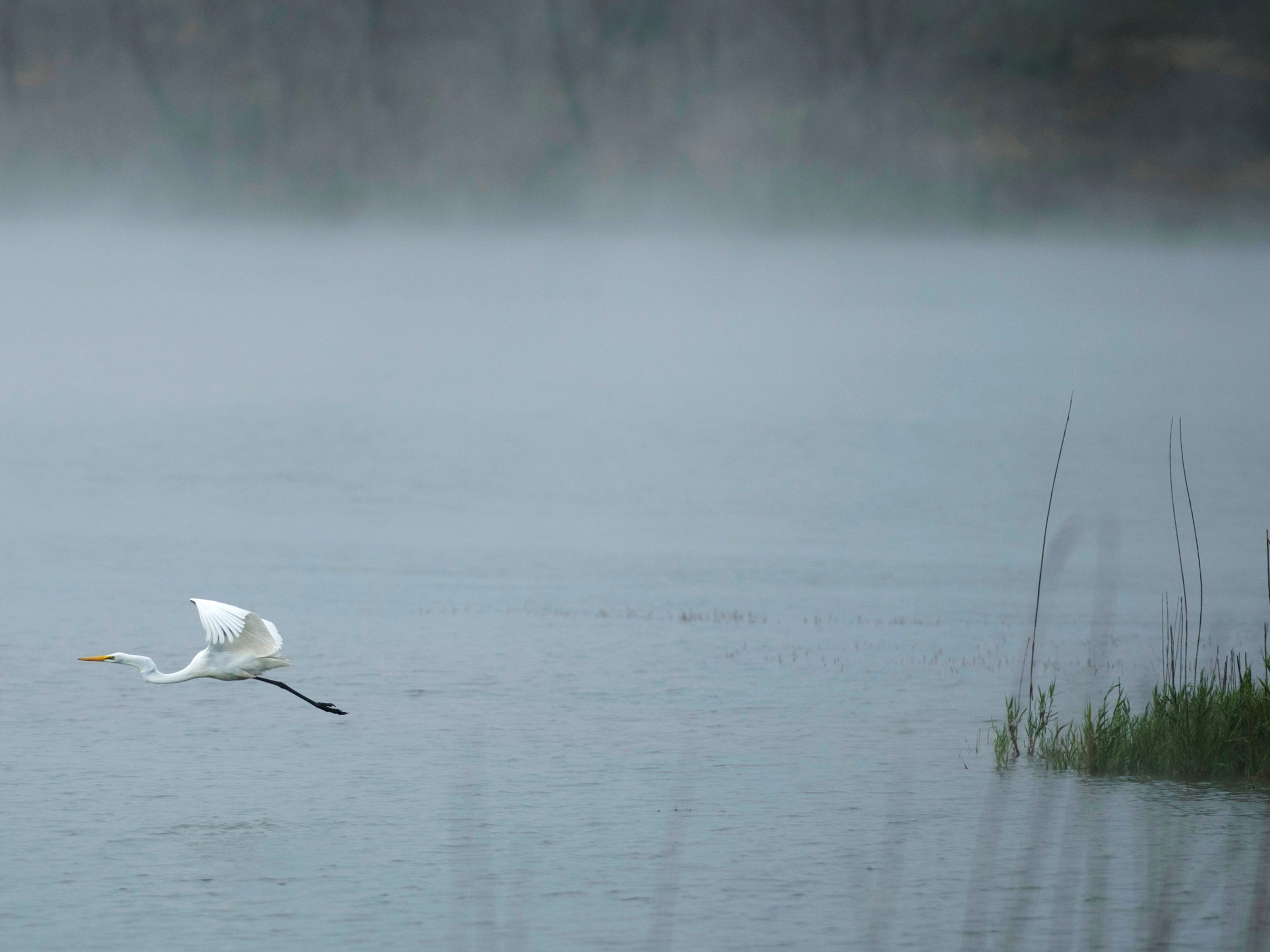 A great egret glides across the fog-covered water of Blue Grass Fish and Wildlife Area Friday morning.